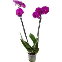 Орхидея Фаленопсис Микс экстра в упаковке 2 стебля o12 h60 см